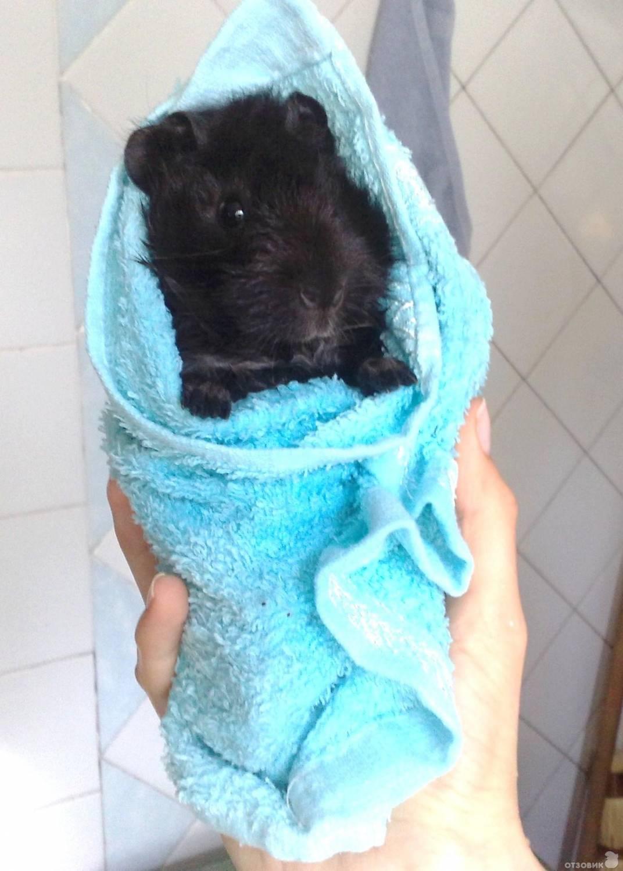 Чем купать морских свинок в домашних условиях
