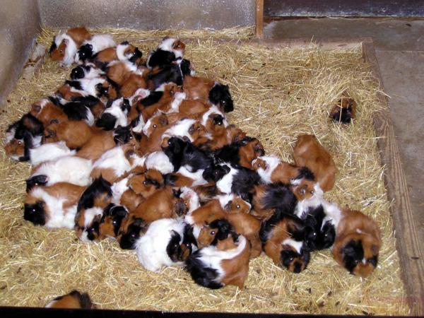 Размножение морских свинок домашних условиях - Домашние морские свинки: уход и содержание, что едят